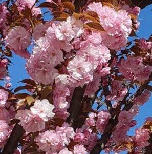 Сакура у цвіту